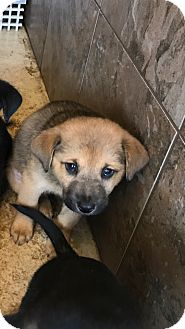 Shepherd (Unknown Type) Mix Puppy for adoption in Portland, Oregon - Sandy