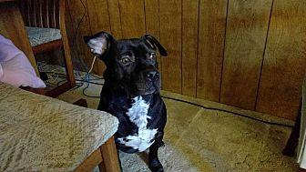 American Pit Bull Terrier/Labrador Retriever Mix Dog for adoption in Snohomish, Washington - Buddy
