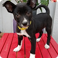 Adopt A Pet :: Cow - Bridgeton, MO