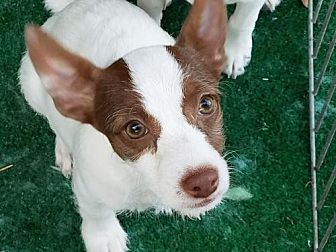 Terrier (Unknown Type, Medium)/Chihuahua Mix Puppy for adoption in San Antonio, Texas - Cher