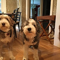 Bearded Collie Mix Dog for adoption in Boise, Idaho - Bailey & Penny - The Bearded Collies