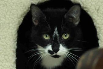 Domestic Shorthair/Domestic Shorthair Mix Cat for adoption in Lafayette, Indiana - Oreo