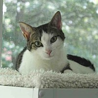 Domestic Mediumhair Cat for adoption in Hampton Bays, New York - HALSEY
