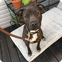 Labrador Retriever/Pit Bull Terrier Mix Dog for adoption in Pataskala, Ohio - Sophie