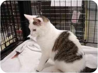 Domestic Shorthair Kitten for adoption in Overland Park, Kansas - Dolly