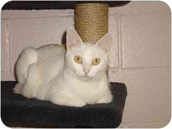 Domestic Shorthair Cat for adoption in Bristol, Rhode Island - Bianca