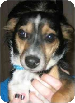 Chihuahua/Terrier (Unknown Type, Small) Mix Dog for adoption in Tracy, California - Mojo-ADOPTED