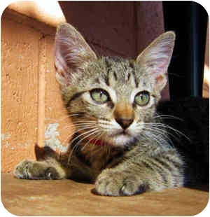 Domestic Shorthair Kitten for adoption in Puunene, Hawaii - Baby