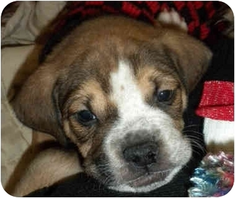 Boxer/Labrador Retriever Mix Puppy for adoption in Detroit, Michigan - Hugo-Adopted