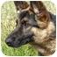 Photo 3 - German Shepherd Dog Dog for adoption in Los Angeles, California - Lena von Malibu