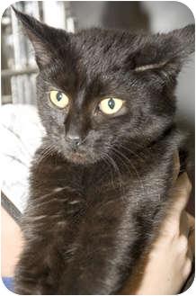 Domestic Mediumhair Cat for adoption in Tangent, Oregon - Brenna
