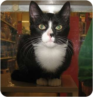 Domestic Shorthair Kitten for adoption in North Haven, Connecticut - Yates