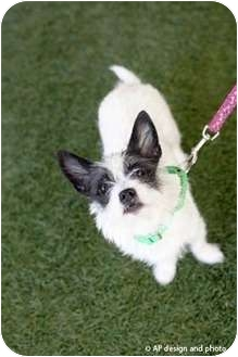 Fox Terrier (Toy) Mix Puppy for adoption in Mission Viejo, California - Bridgett