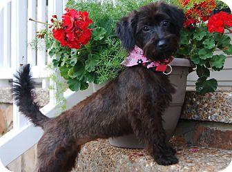 Schnauzer (Miniature)/Poodle (Miniature) Mix Puppy for adoption in Princeton, Kentucky - Cali