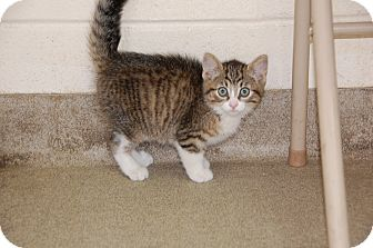 Domestic Shorthair Kitten for adoption in Bucyrus, Ohio - Muffin Chops