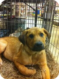 Shepherd (Unknown Type) Mix Dog for adoption in Gainesville, Florida - Bo-Cooper