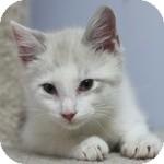 Siamese Kitten for adoption in Wheaton, Illinois - Sandy