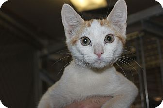 Domestic Shorthair Kitten for adoption in Grass Valley, California - Gee