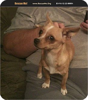 Chihuahua/Terrier (Unknown Type, Small) Mix Dog for adoption in Hurricane, Utah - Lilli