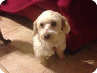 Maltese Dog for adoption in Mount Gretna, Pennsylvania - Krissy
