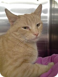 Domestic Shorthair Cat for adoption in Columbus, Ohio - Beth