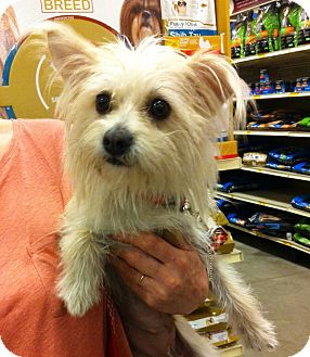 Maltese/Westie, West Highland White Terrier Mix Dog for adoption in Waterbury, Connecticut - Nelly