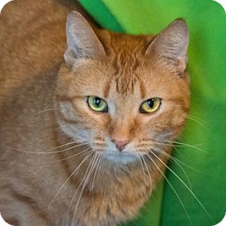 Domestic Shorthair Cat for adoption in Calgary, Alberta - Yellow
