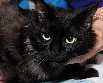 Domestic Shorthair Cat for adoption in Houston, Texas - Midnight