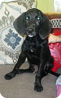 Hound (Unknown Type)/Labrador Retriever Mix Puppy for adoption in Eastpoint, Florida - Spade