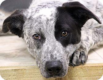 Australian Cattle Dog Mix Puppy for adoption in Hardinsburg, Kentucky - CARSON