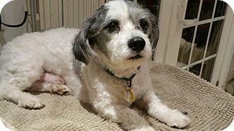 Lhasa Apso/Poodle (Miniature) Mix Dog for adoption in Linden, New Jersey - Sammy