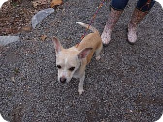 Chihuahua Mix Dog for adoption in Marble, North Carolina - Franklin