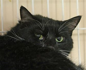 Domestic Shorthair Cat for adoption in Asheville, North Carolina - Snips