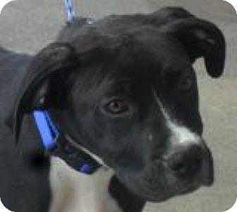 Labrador Retriever/Boxer Mix Dog for adoption in Grand Saline, Texas - Hercules