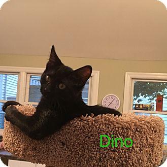 Domestic Mediumhair Kitten for adoption in Hamilton, New Jersey - DINO