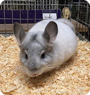 Chinchilla for adoption in Hammond, Indiana - 4 mo white mosaic chinchilla