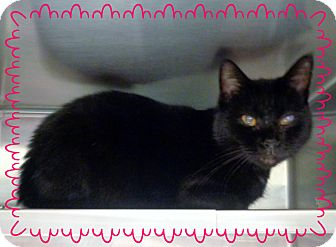 Domestic Shorthair Cat for adoption in Marietta, Georgia - SKYLA