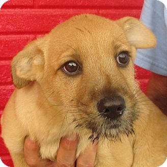 Terrier (Unknown Type, Small) Mix Puppy for adoption in Reeds Spring, Missouri - Peter