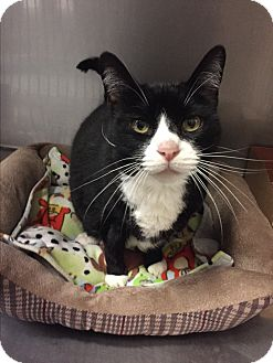 Domestic Shorthair Cat for adoption in Ripon, California - Porche