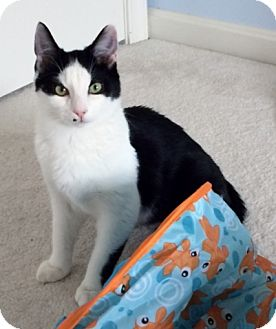 Domestic Shorthair Cat for adoption in Ellicott City, Maryland - .Oliver