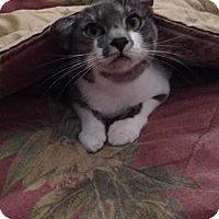 Domestic Mediumhair Kitten for adoption in tampa, Florida - Maddy KITTEN