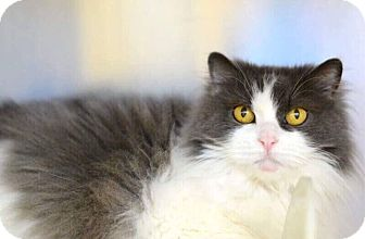 Persian Cat for adoption in Mansfield, Texas - Baby