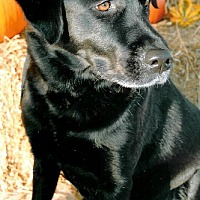 Labrador Retriever Dog for adoption in Annapolis, Maryland - Jett