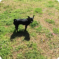 Chihuahua Mix Dog for adoption in Hampton, Virginia - Romeo