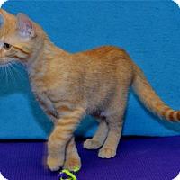 Adopt A Pet :: Bella - Lenexa, KS