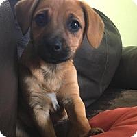 Adopt A Pet :: Sissy - Westwood, NJ