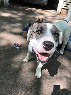 Mastiff/Australian Shepherd Mix Dog for adoption in Southbury, Connecticut - Toby ~ meet me!