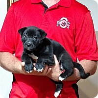 Adopt A Pet :: Gunner - New Philadelphia, OH
