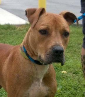 Bullmastiff Mix Dog for adoption in Terre Haute, Indiana - Axel