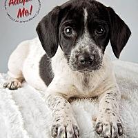 Adopt A Pet :: Cookie - Gillsville, GA